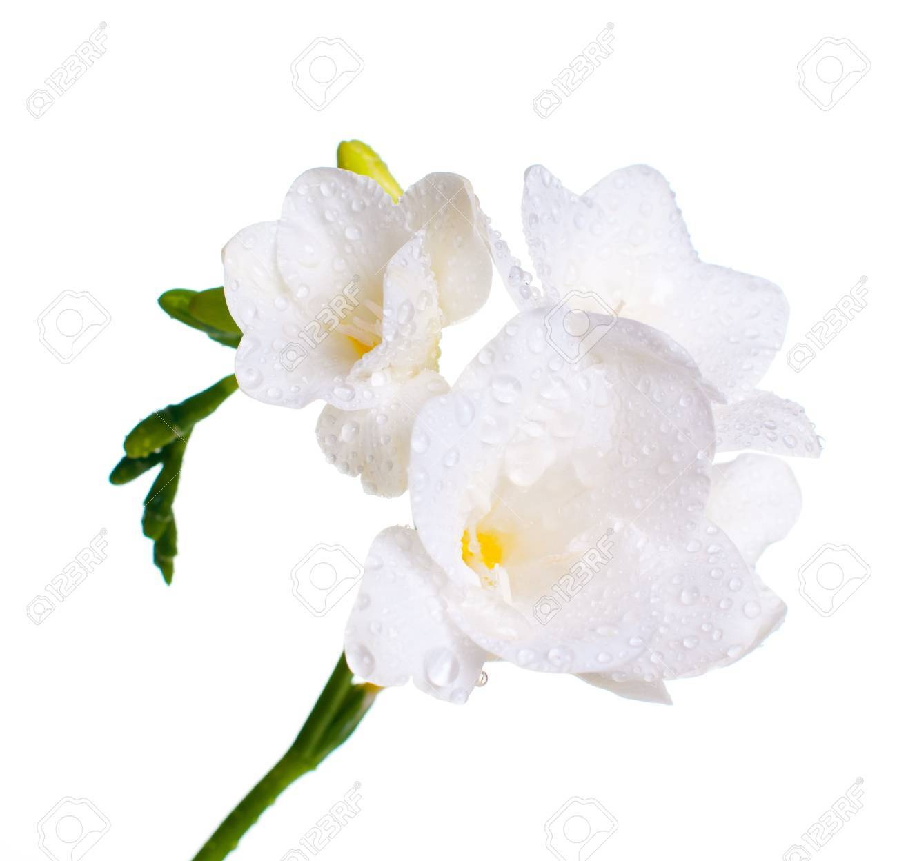 Close Up Of White Freesia Flowers With Water Drops Stock Photo
