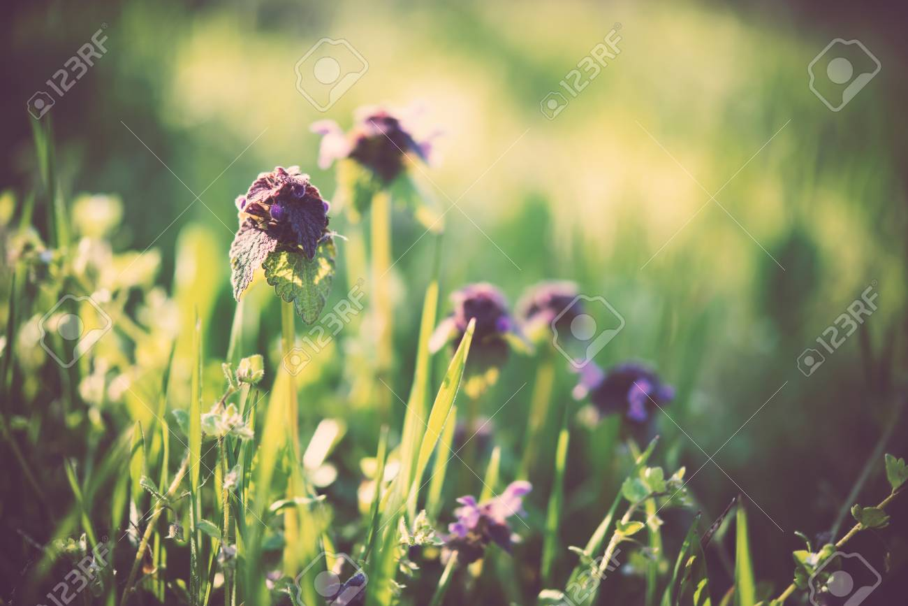 Wild Purple Flowers In The Green Grass Spring Forest On A Sunny