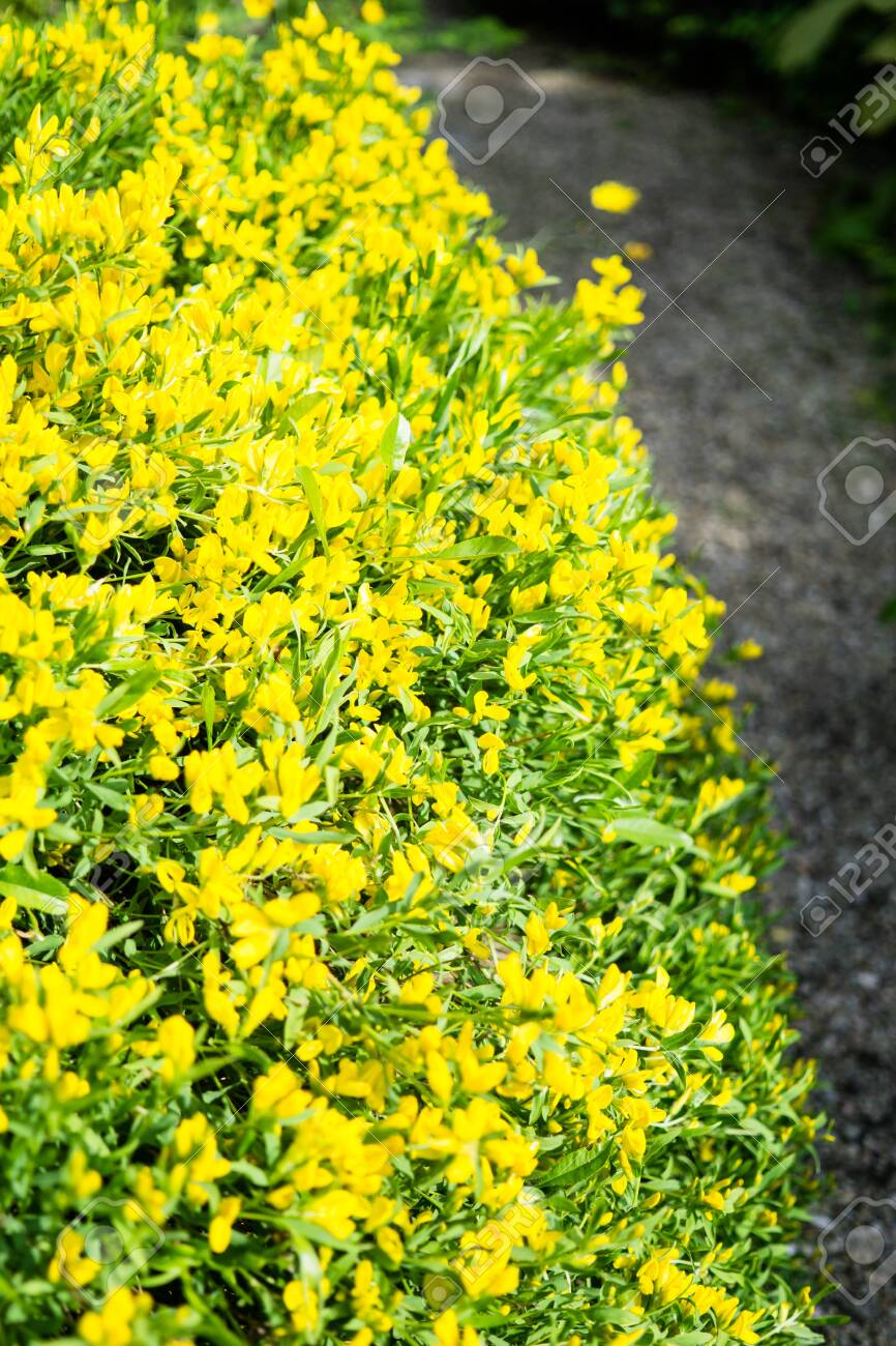 Beautiful Botanical Garden Yellow Flowers And Blooming Bushes