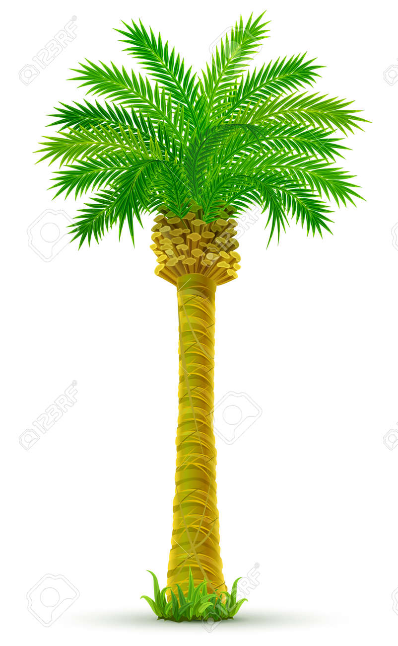 tropical palm tree with green leaves isolated - vector illustration - 4952216