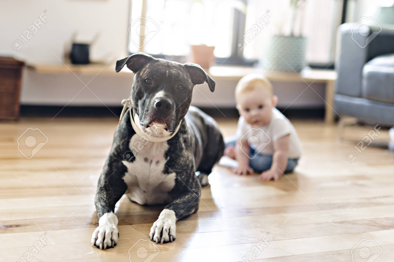 baby girl sitting with pitbull on the floor stock photo picture and