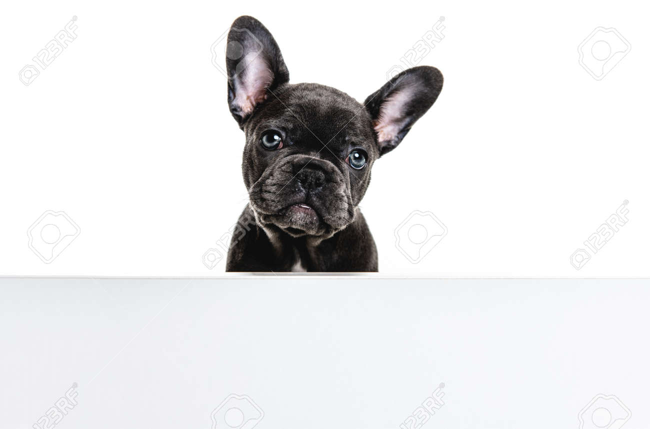 Black French bulldog puppy over a white background - 158508333