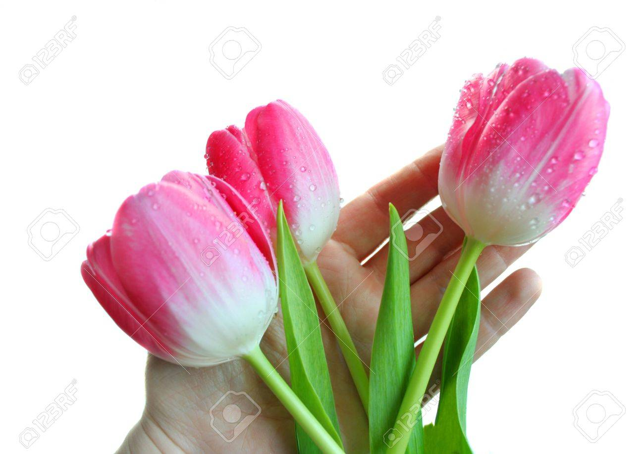 Pink tulips on a hand. Stock Photo - 7002237