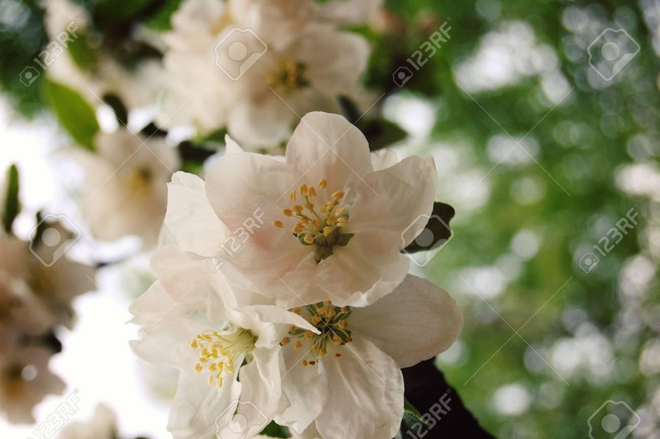 Apple Flowers In Bloom Aged Photo Flowers Bloom In Spring Season