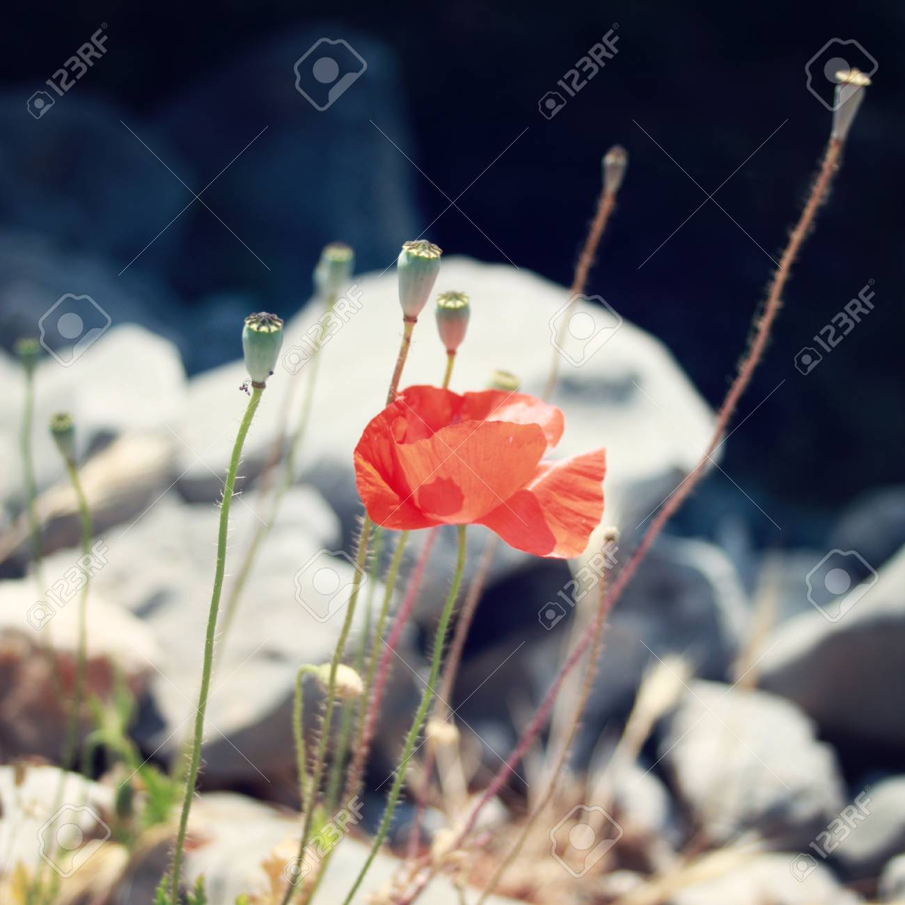 Poppies among the grey stones vintage photo poppy flowers stock poppies among the grey stones vintage photo poppy flowers along the lycian way mightylinksfo