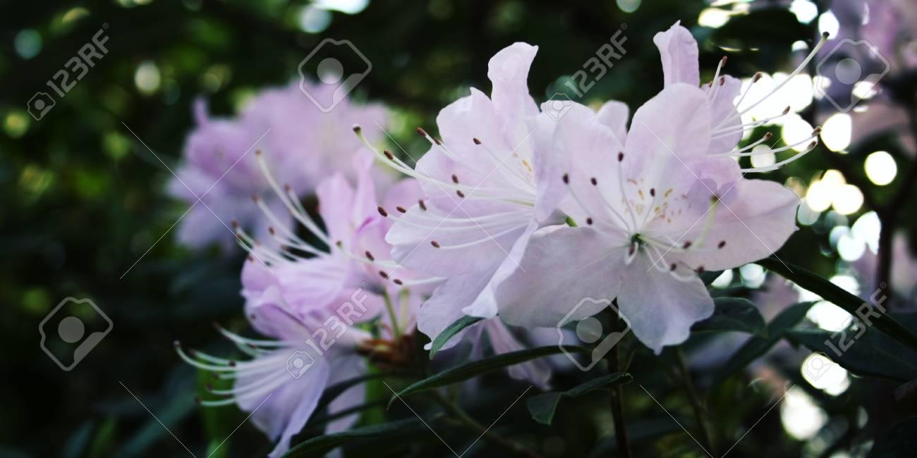 Lilac azalia flowers bloom in spring season branch of rhododendron lilac azalia flowers bloom in spring season branch of rhododendron flowering bush retro mightylinksfo