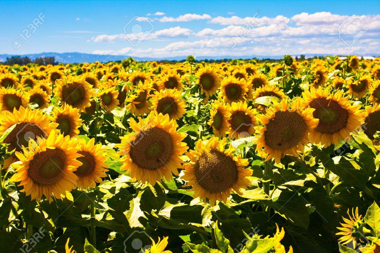 Sunflowers fields - 19194332