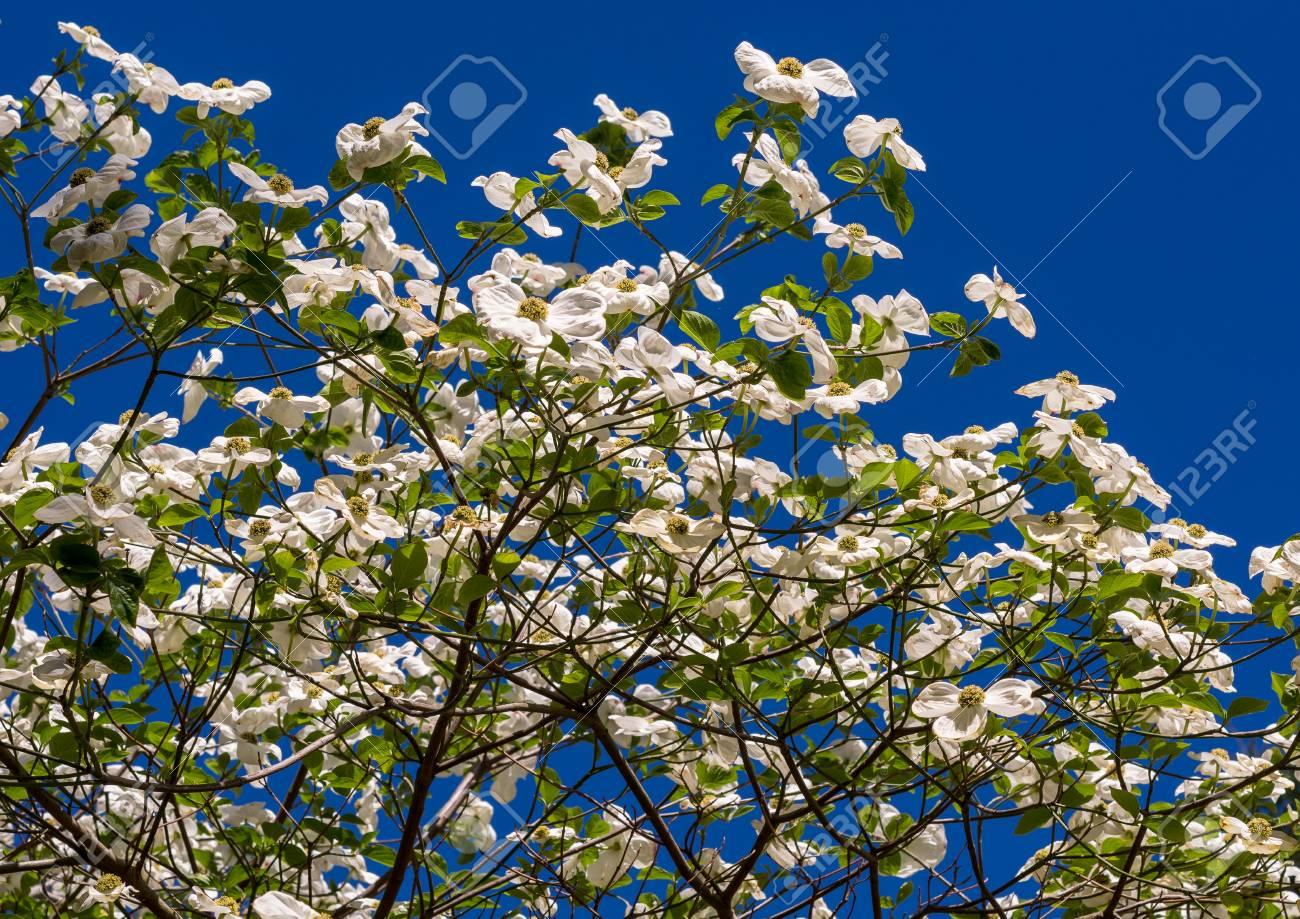 White dogwood tree cornus florida in full bloom in springtime stock photo white dogwood tree cornus florida in full bloom in springtime flowering dogwood mightylinksfo