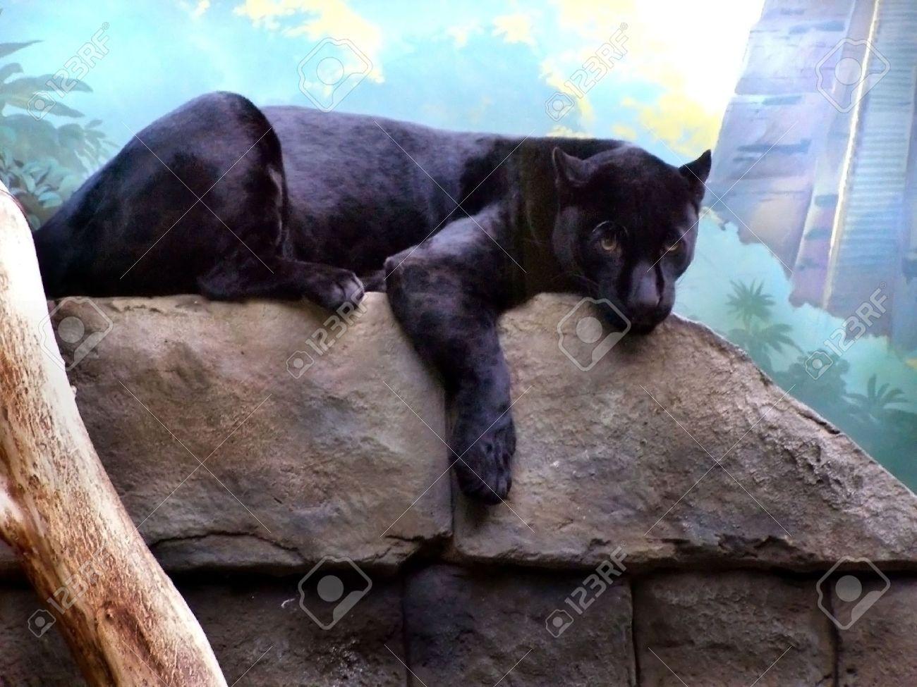 black panther, panther, black, wild mammal - 2057655