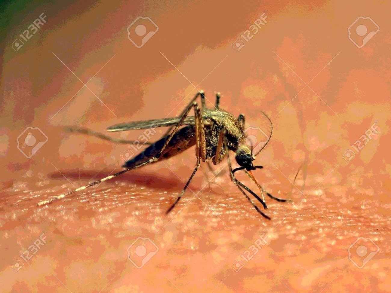 mosquito, wings, outdoors, blood, summer - 2057662