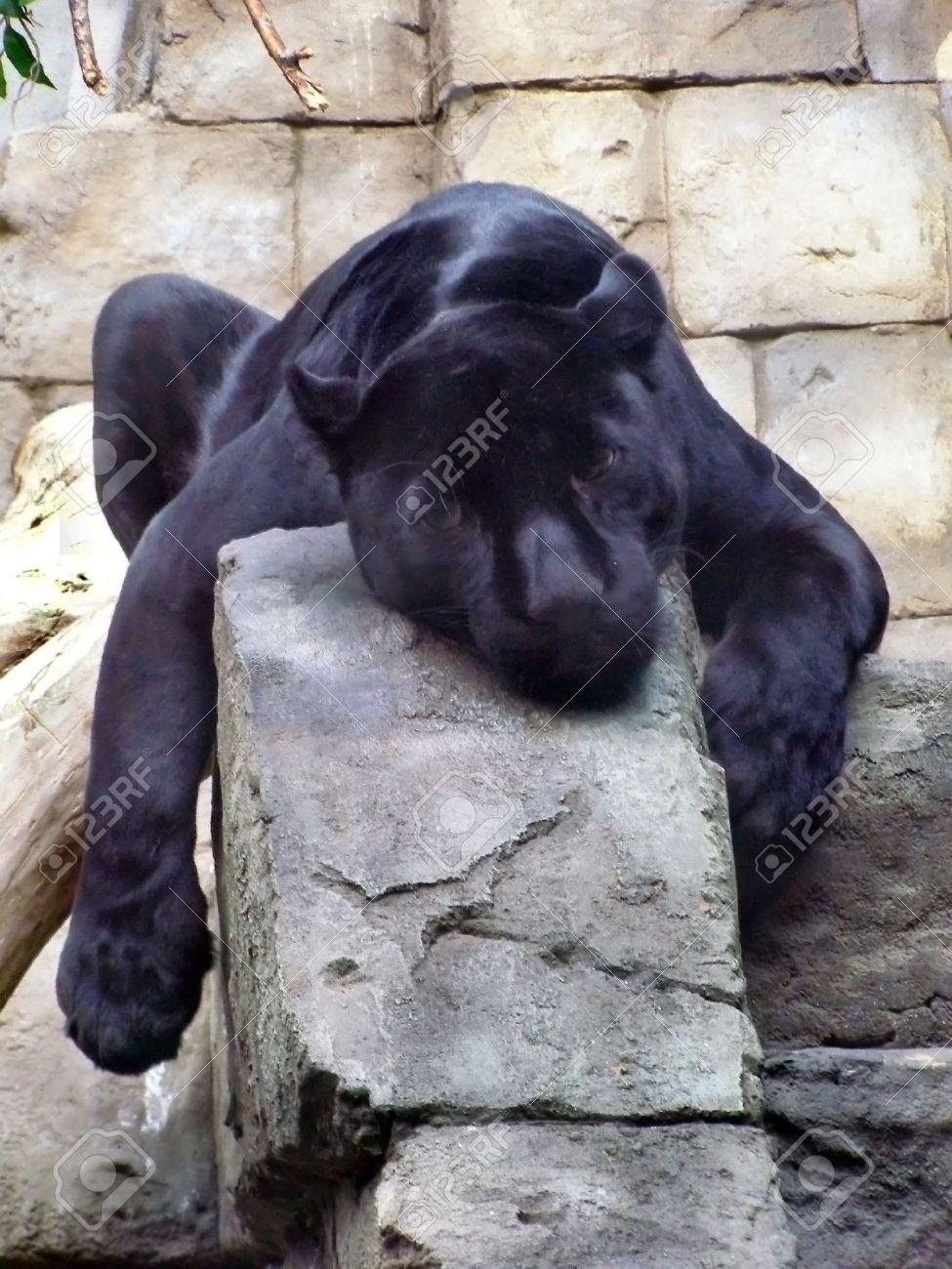 black panther, wild mammal - 2090582