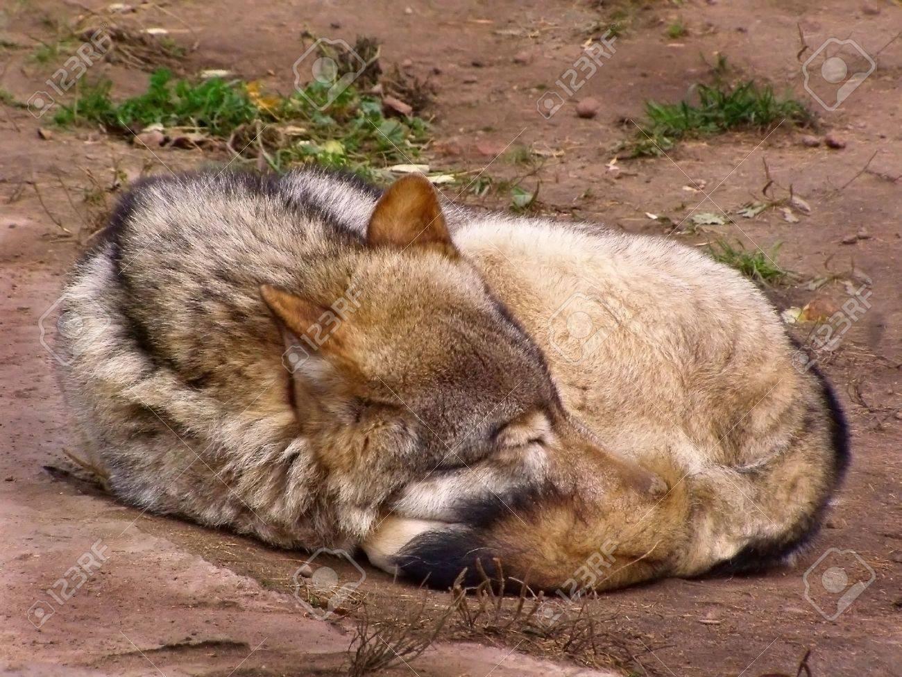 wolf, grey, wild mammal, a predator - 2090604