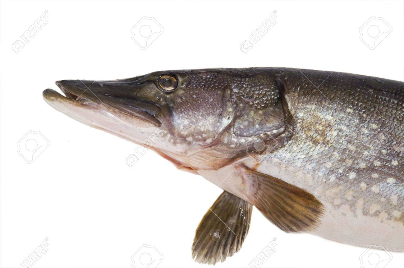 pike; fish; head; close-up; isolated; fin; gills Stock Photo - 6711596