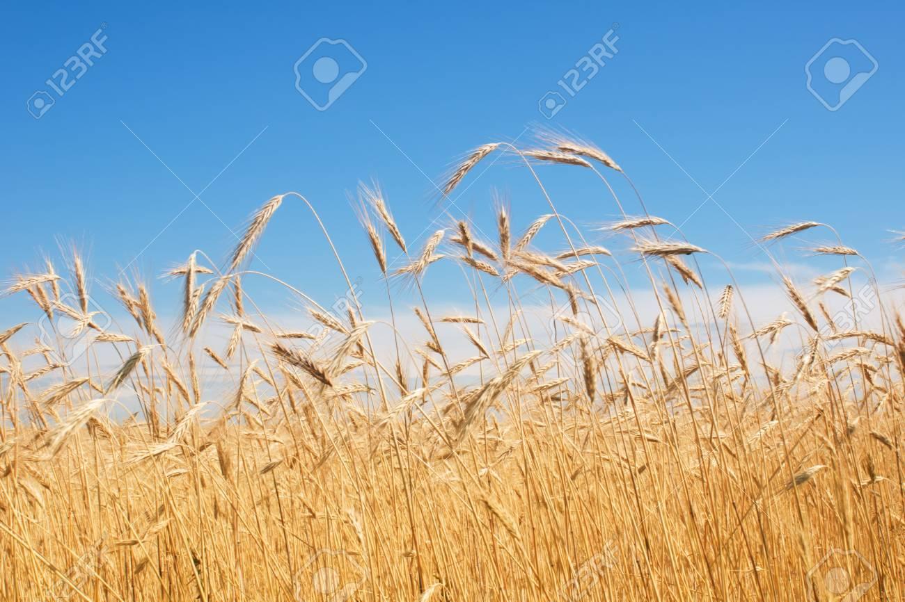 field of rye, blue sky Stock Photo - 9983320