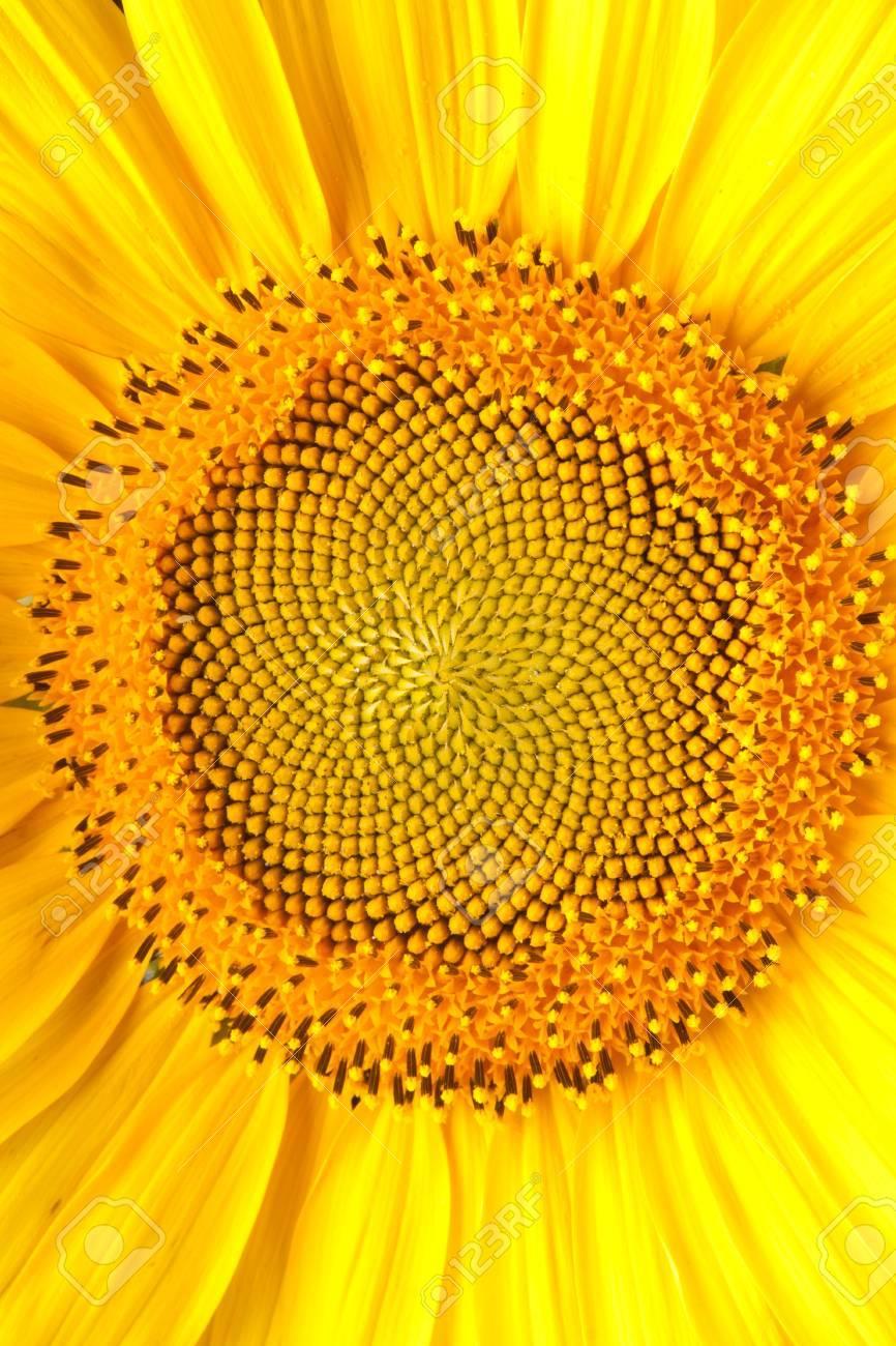 yellow sunflower Stock Photo - 9983403