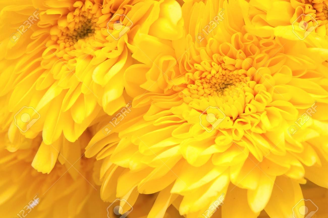 chrysanthemum Stock Photo - 13012075