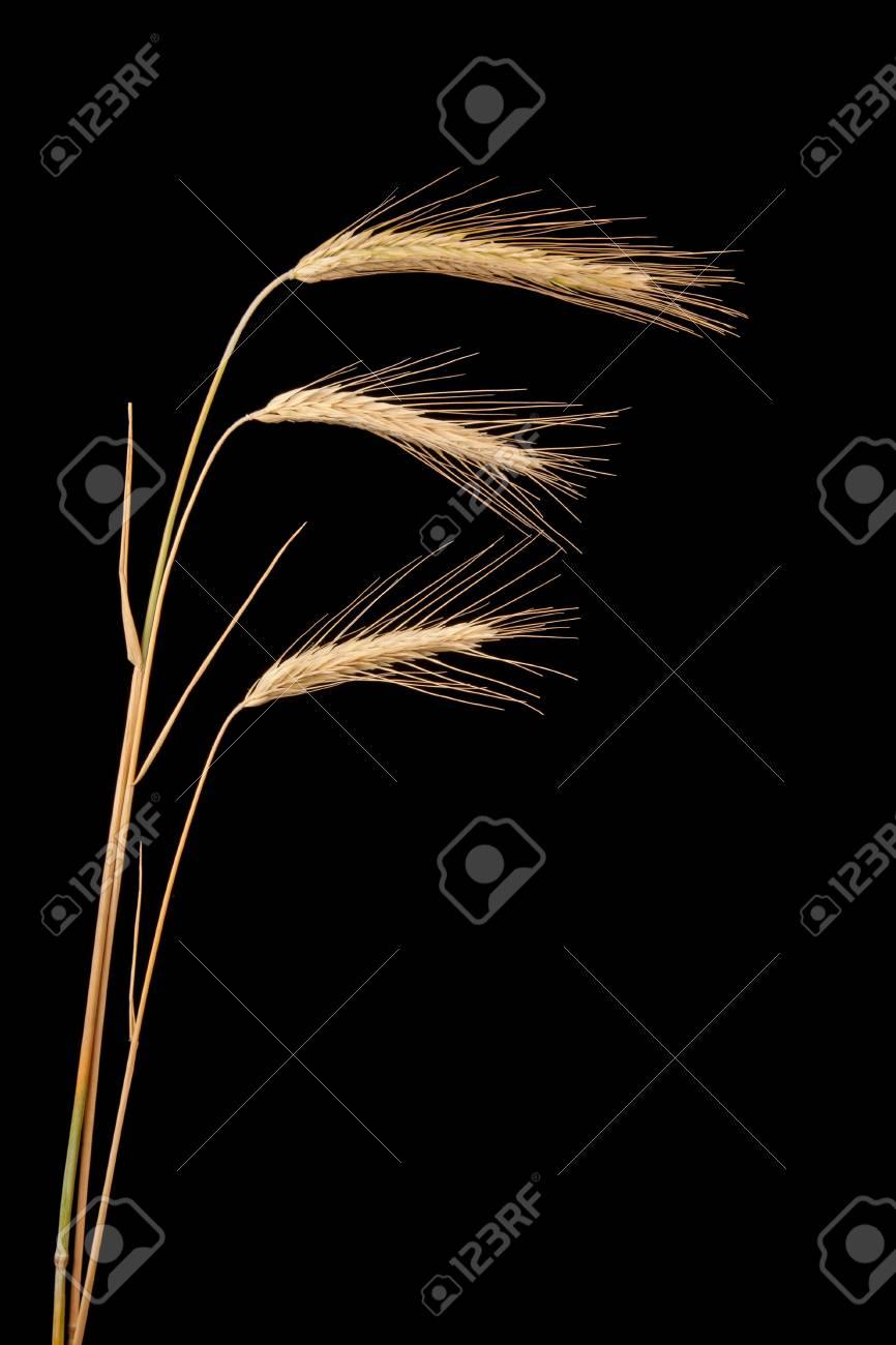 rye isolated on black Stock Photo - 14744425