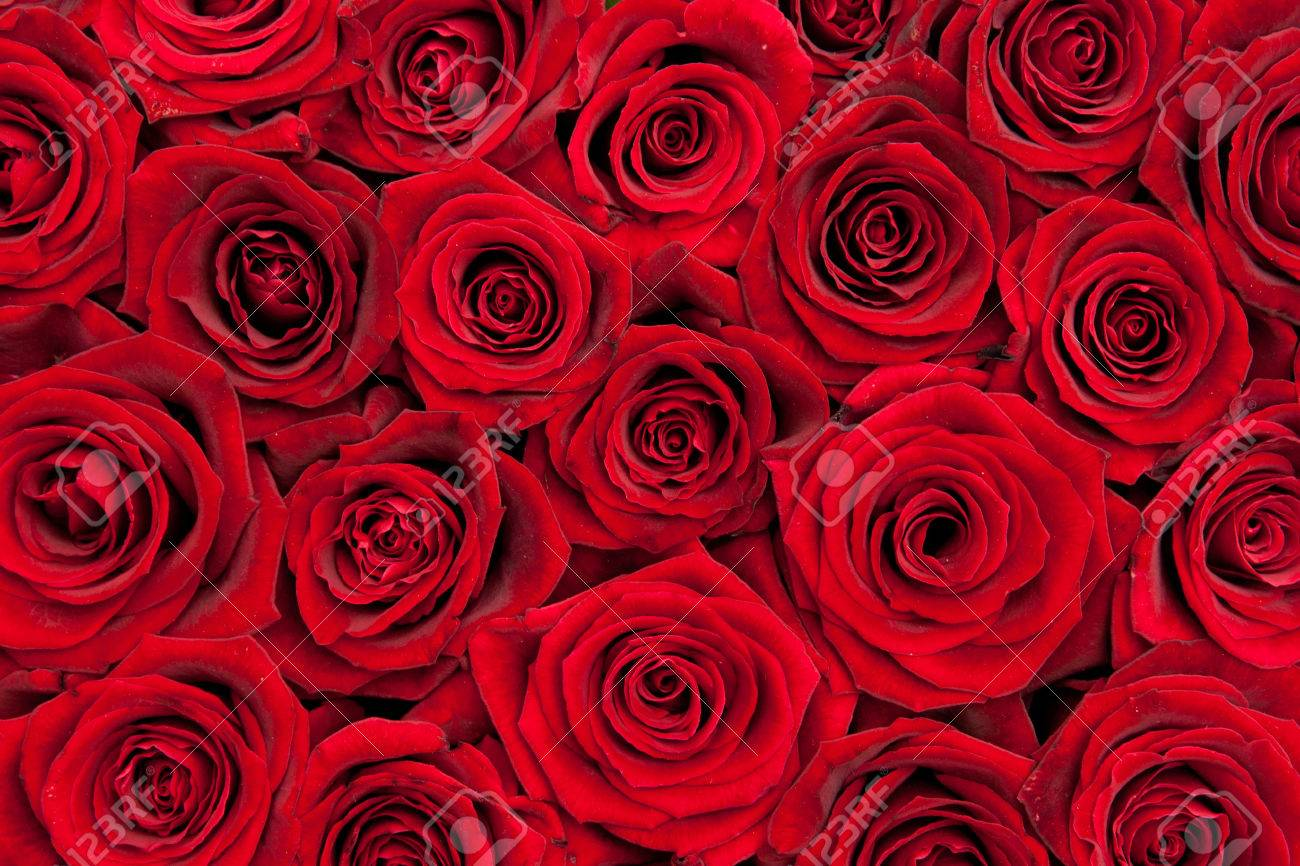 beautiful red roses - 32918780
