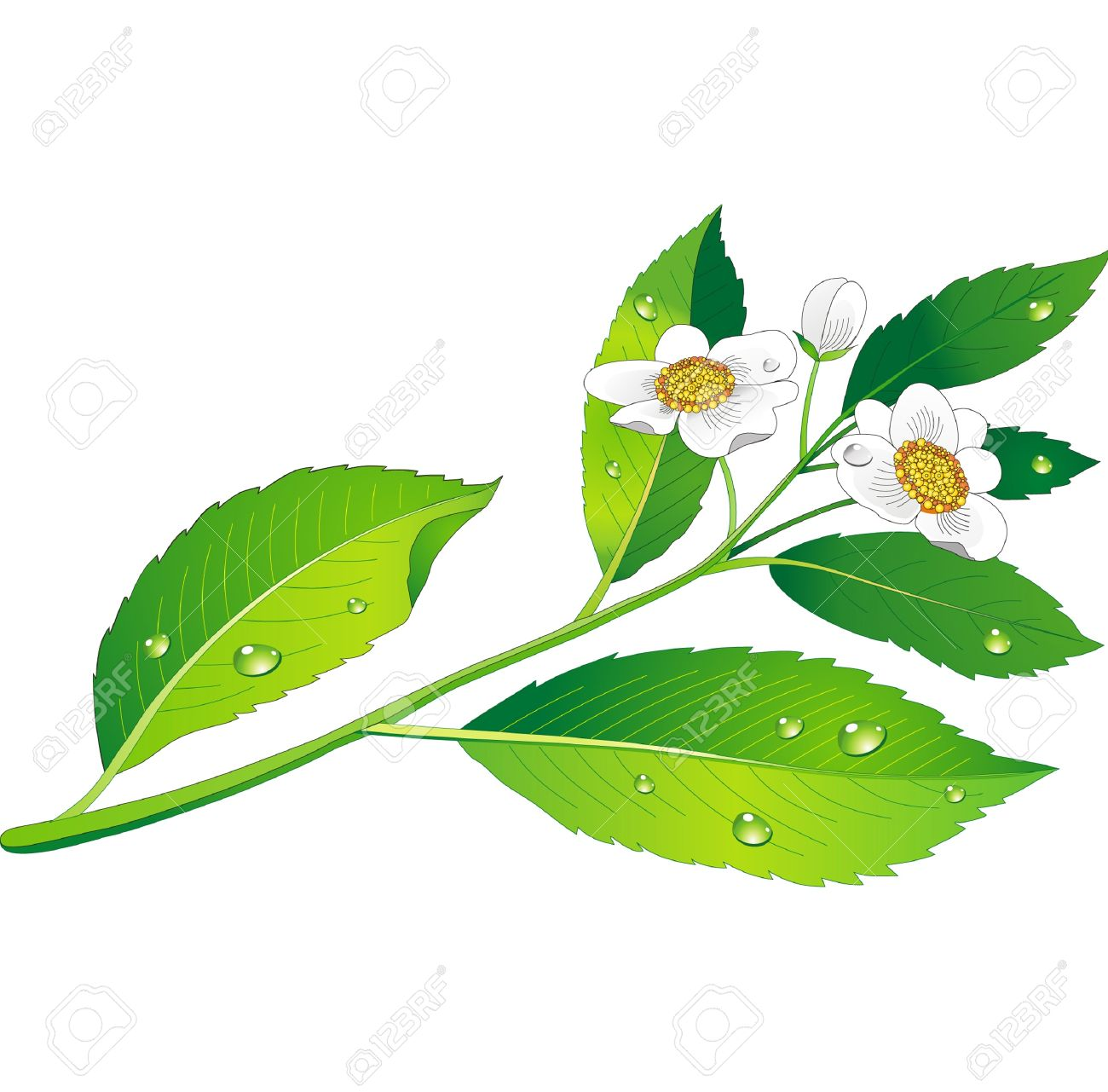 Vector branch of green tea with flowers and leaves Stock Vector - 10345767