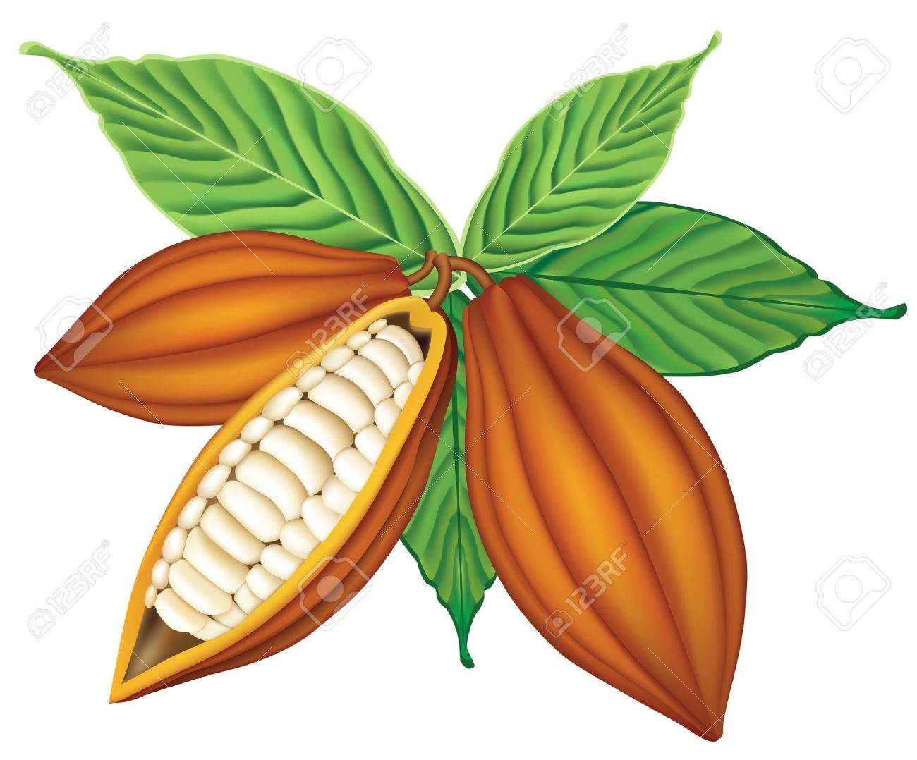 Cocoa beans with green leaves. Stock Vector - 10502083