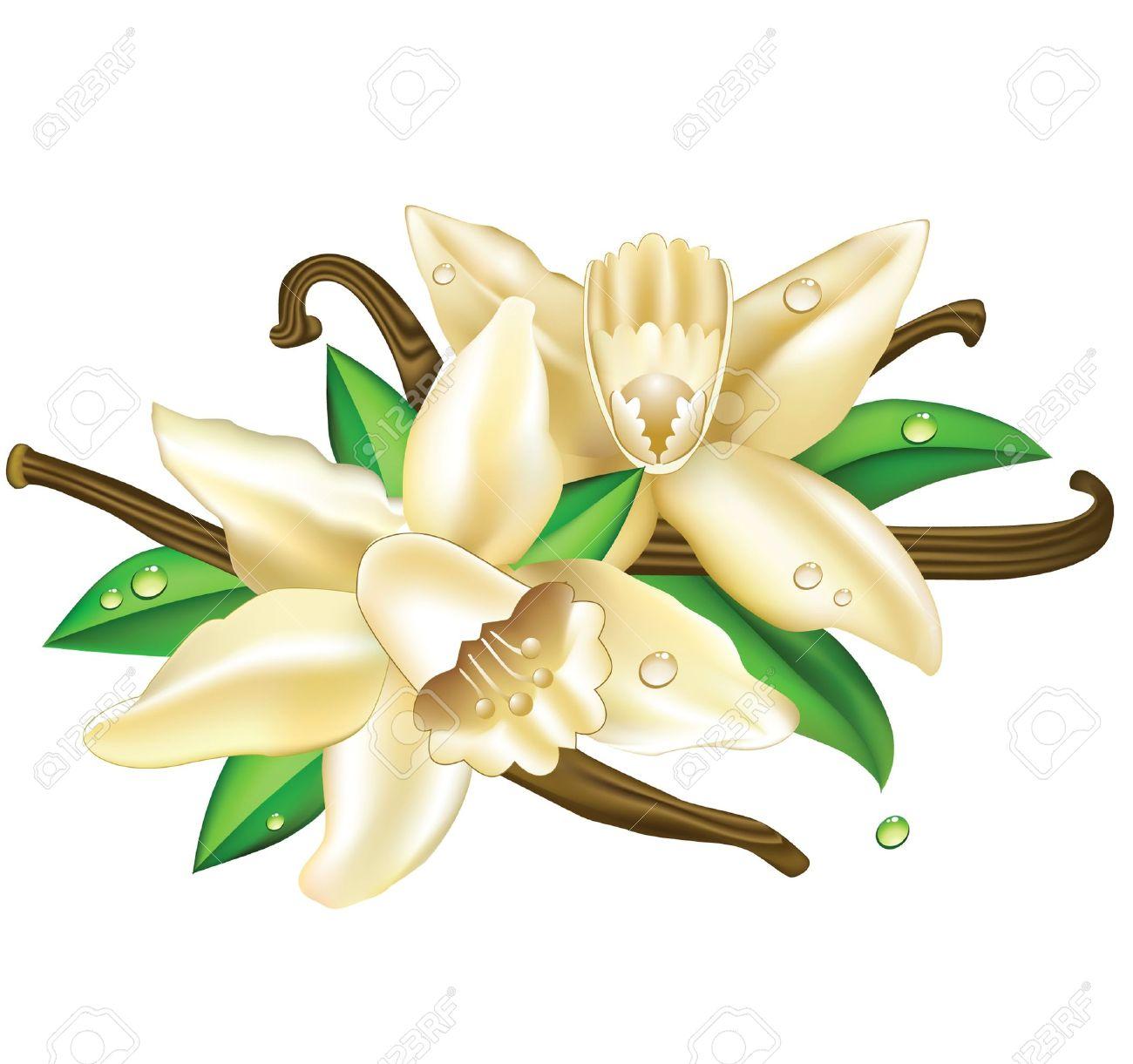 fleur de vanille banque d'images, vecteurs et illustrations libres