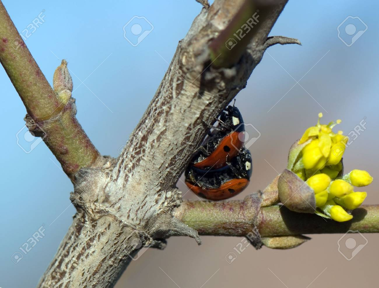 Close-up macro of two loving ladybugs matings. Stock Photo - 3252941