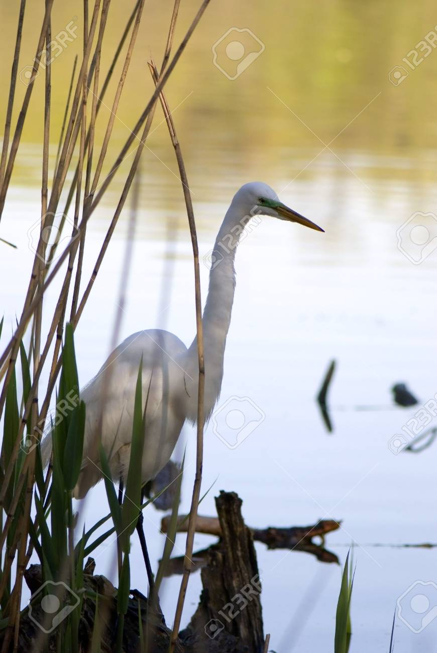 Big Bird looking for fish. Stock Photo - 3682294