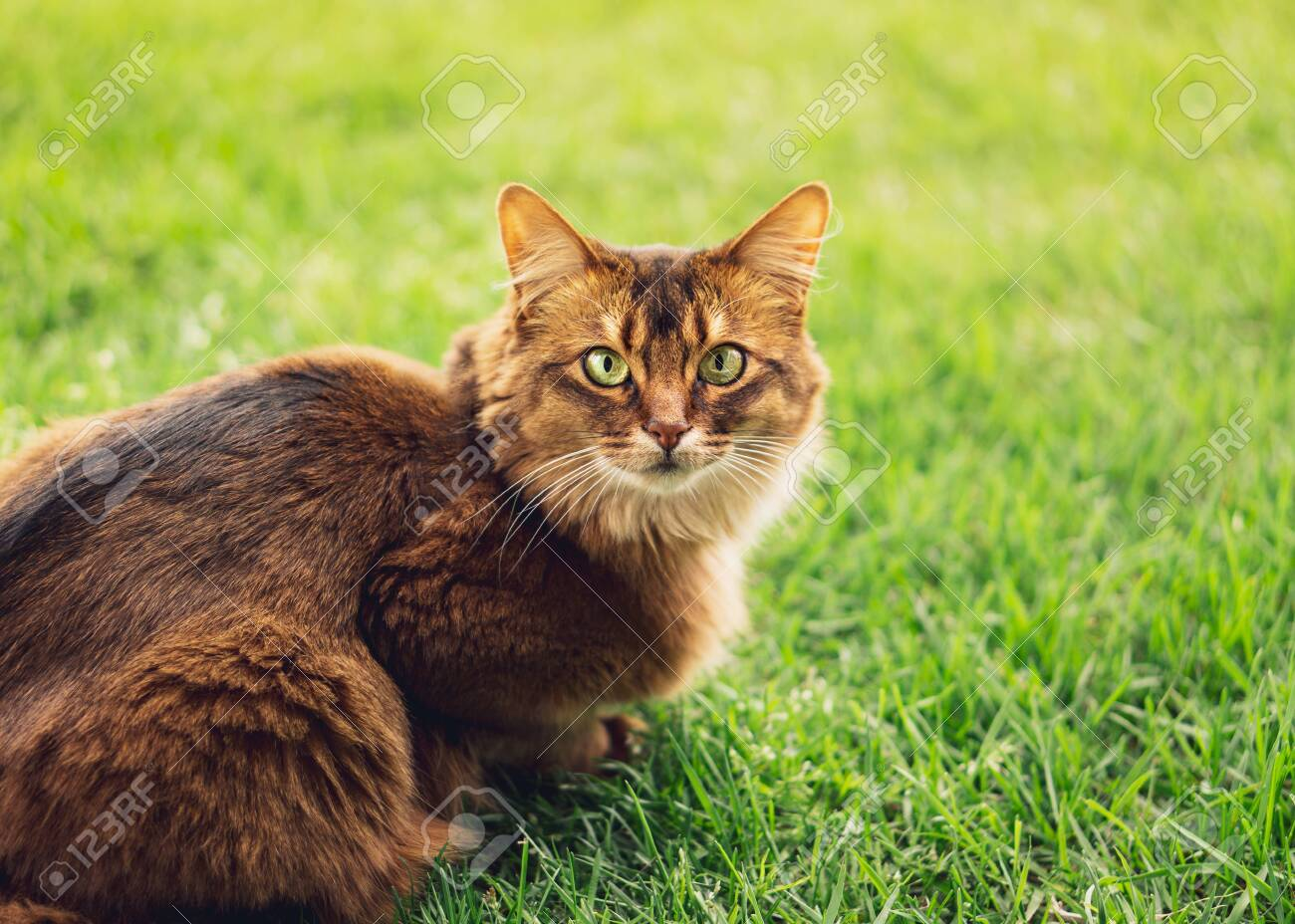 Purebred Somali Cat In The Grass Outside The Somali Cat Breed Stock Photo Picture And Royalty Free Image Image 138577131