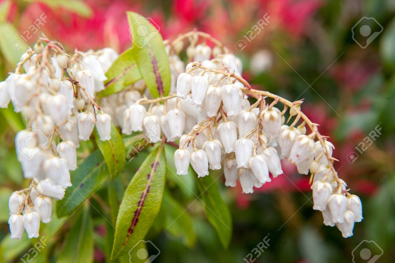Small white bell shape wild flowers stock photo picture and royalty small white bell shape wild flowers stock photo 50171170 mightylinksfo
