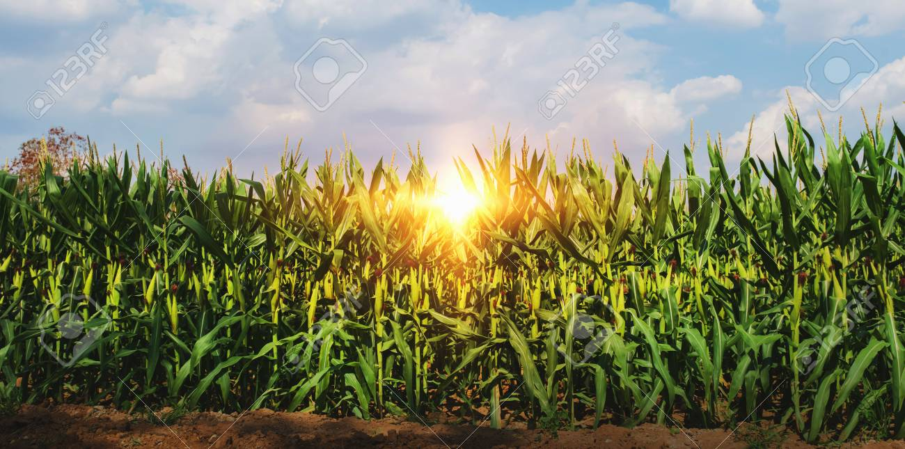 corn growing in plantation with sun and blue sky - 117181685