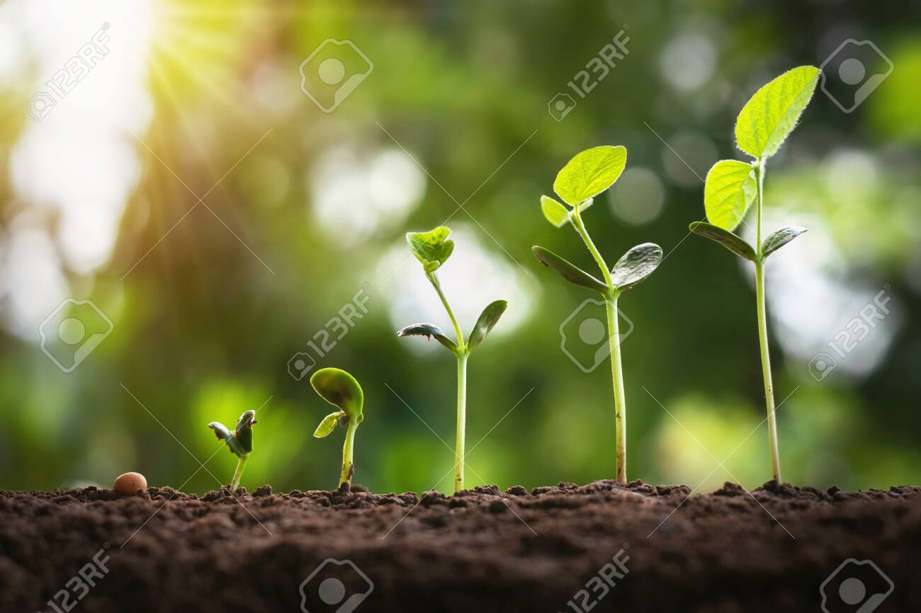 soybean growth in farm with green leaf background. agriculture plant seedling growing step concept - 130721480