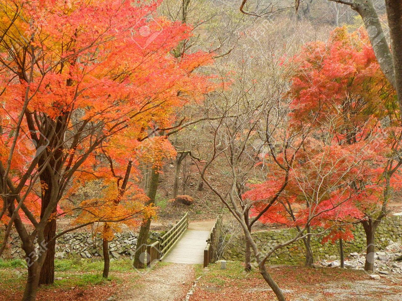 9aadb76ea5c82 Small Wooden Bridge amongst the Beautiful Colors of Fall Foliage on the  Mountainside in South Korea