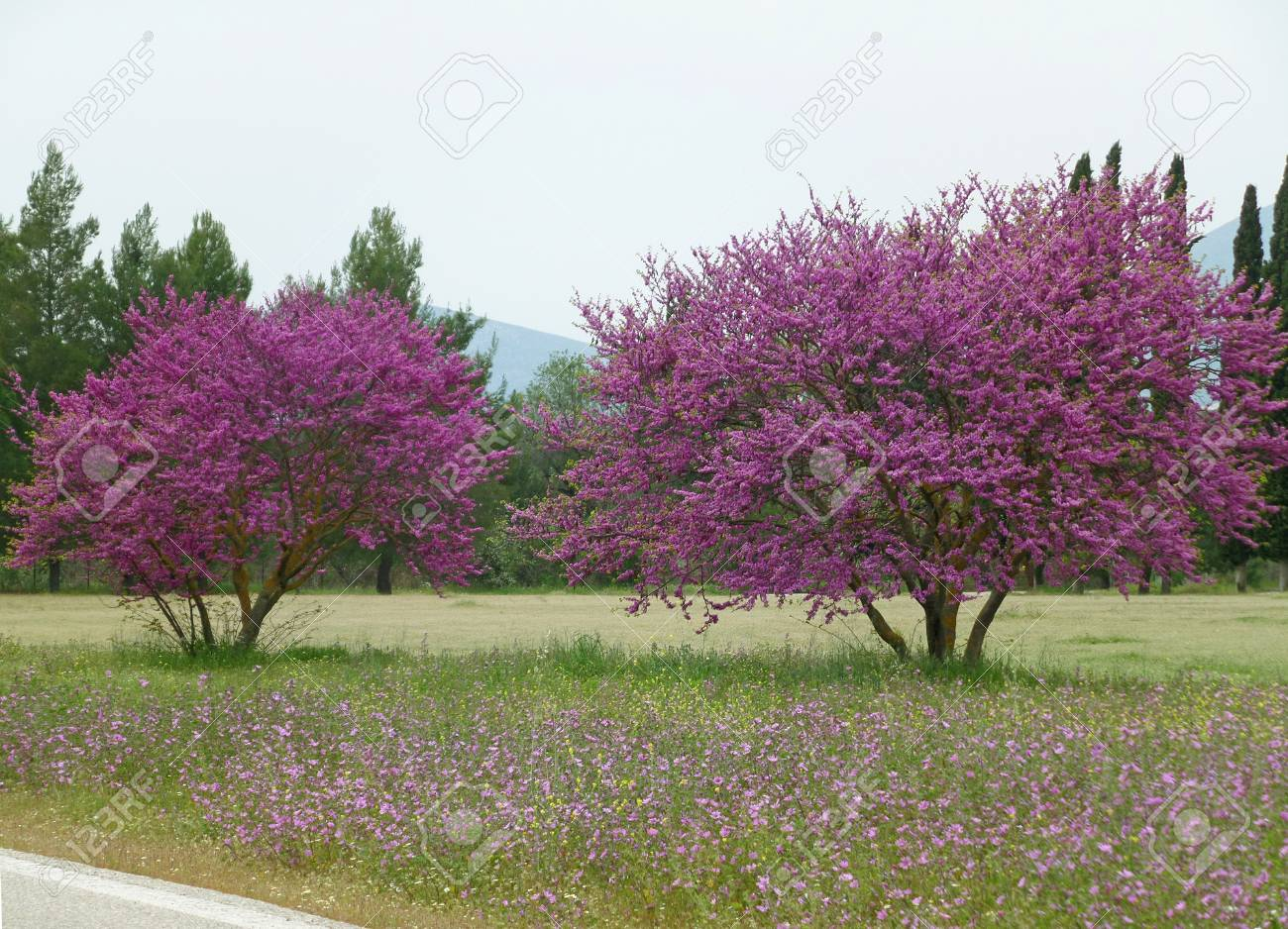 Vibrant pink wild flowering trees along the country roadside stock stock photo vibrant pink wild flowering trees along the country roadside in spring greece mightylinksfo