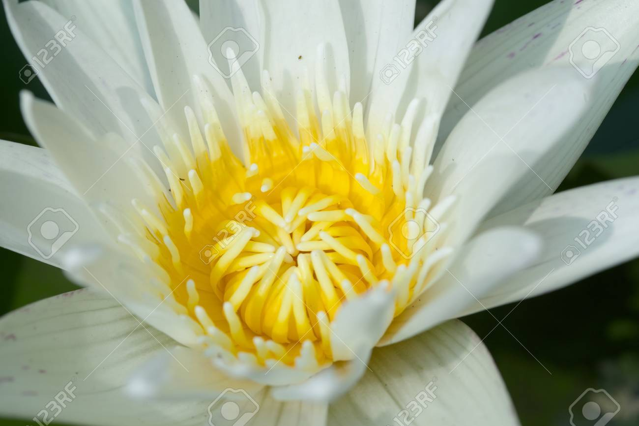 Lotus flower was very important in the religion meaning creation lotus flower was very important in the religion meaning creation and rebirth stock photo 27425814 izmirmasajfo