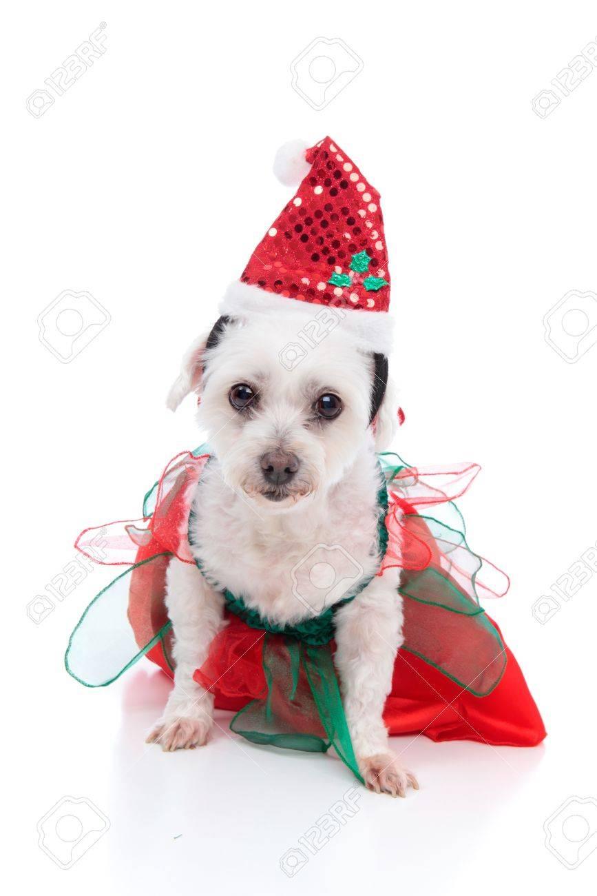 Netter Weißer Hund Trägt Ein Rotes Und Grünes Kleid Und Hut Santa ...