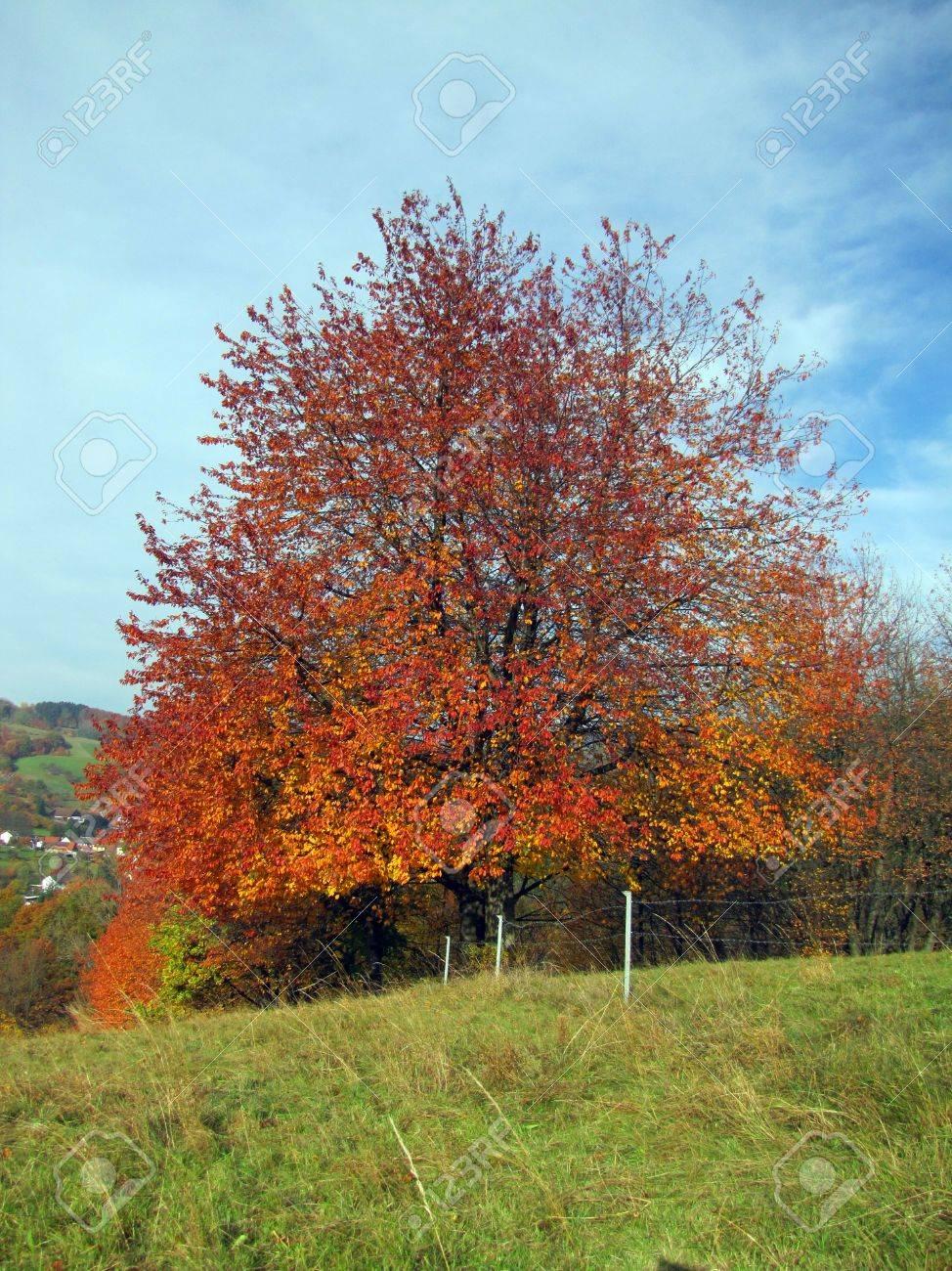 Tree in autumn, autumn leaves Stock Photo - 15545378