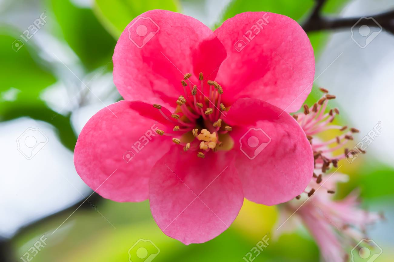 Red malus spectabilis flower - chinese crabapple