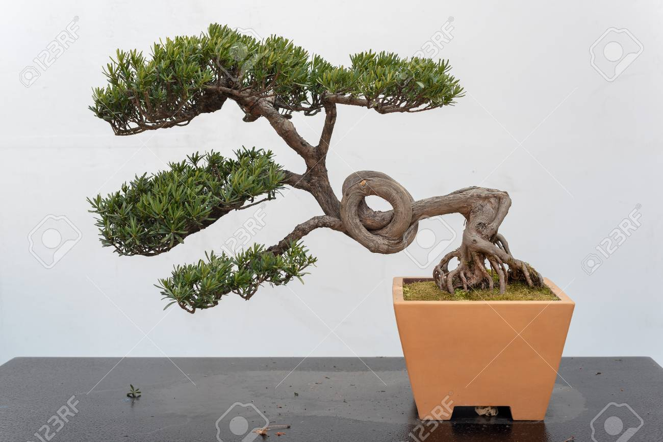 Twisted Pine Bonsai Tree On A Wooden Table Against White Wall Stock Photo Picture And Royalty Free Image Image 116597183