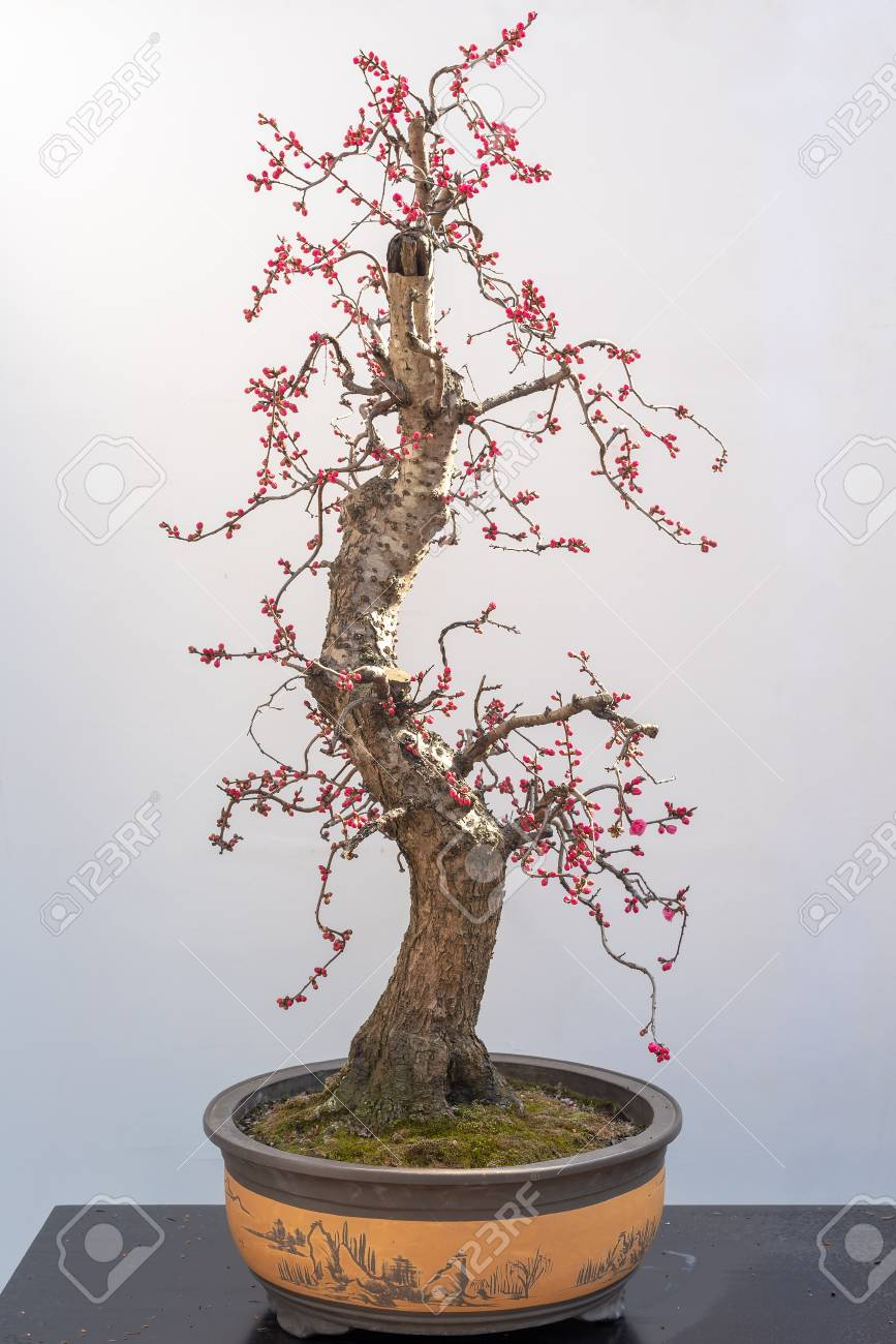 Red Plum Bonsai Tree On A Wooden Table Against White Wall Stock Photo Picture And Royalty Free Image Image 116596583