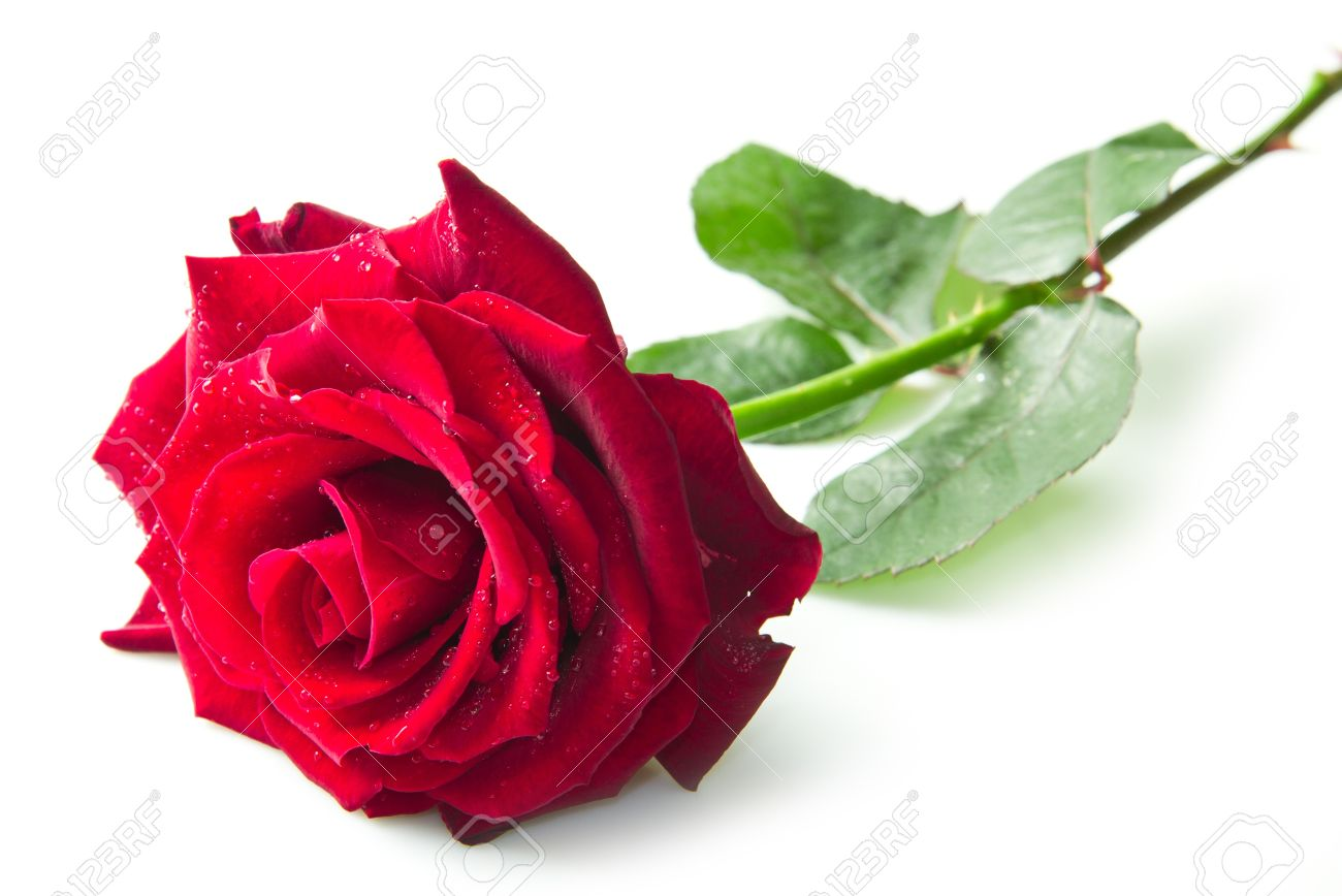 Single Red Rose Flower Isolated On White Background Stock Photo