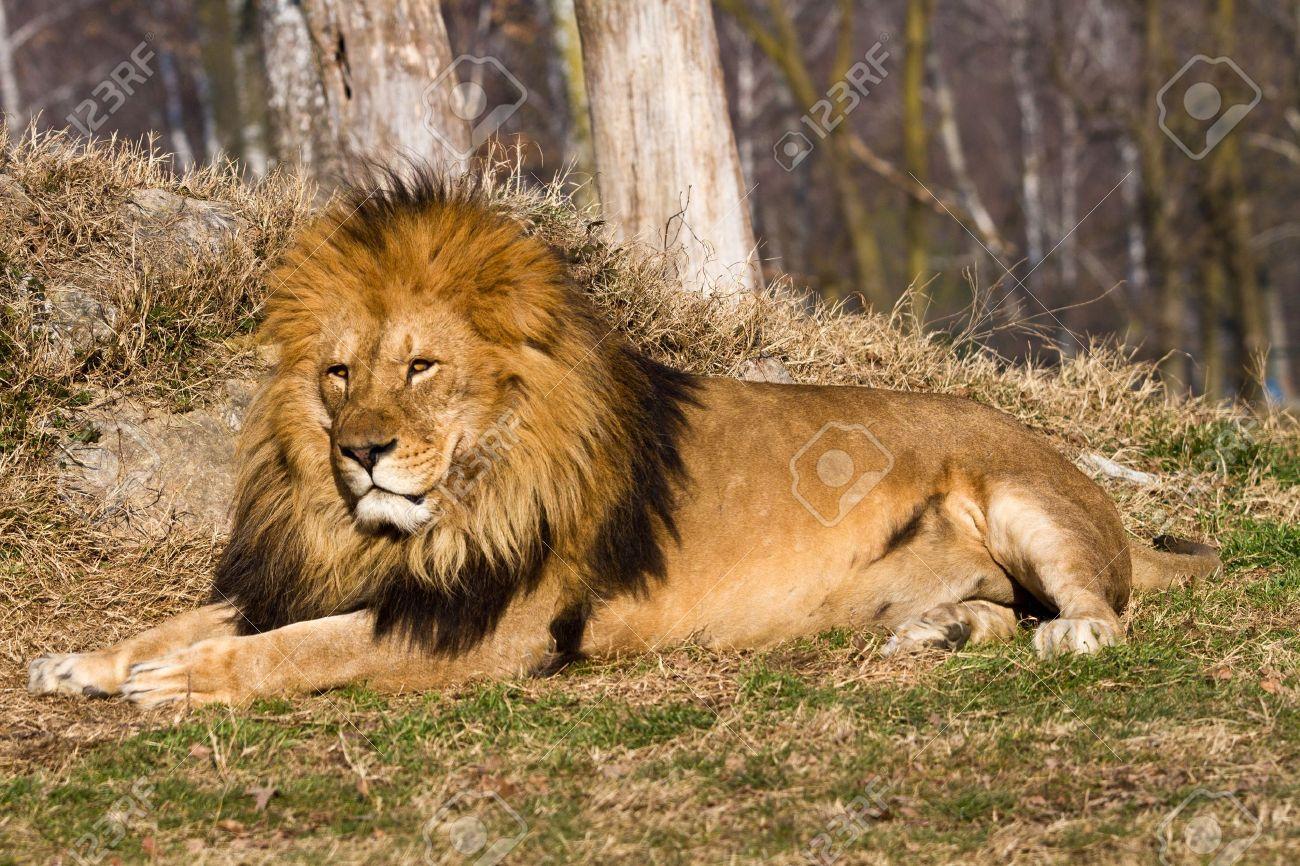 Bien connu Le Profil D'un Lion Africain Détendue Regarder Dans Le Zoo Banque  UN84