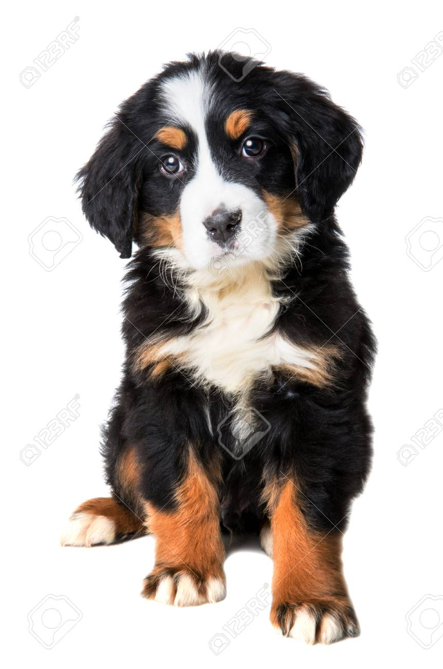 Bernese Mountain Dog Puppy Isolated On White Background Stock Photo Picture And Royalty Free Image Image 108158154