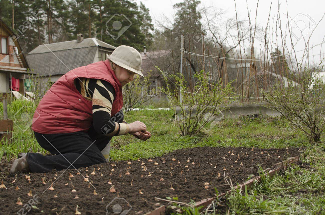 Spring Onion Planting Of Seedlings In Open Ground Stock Photo