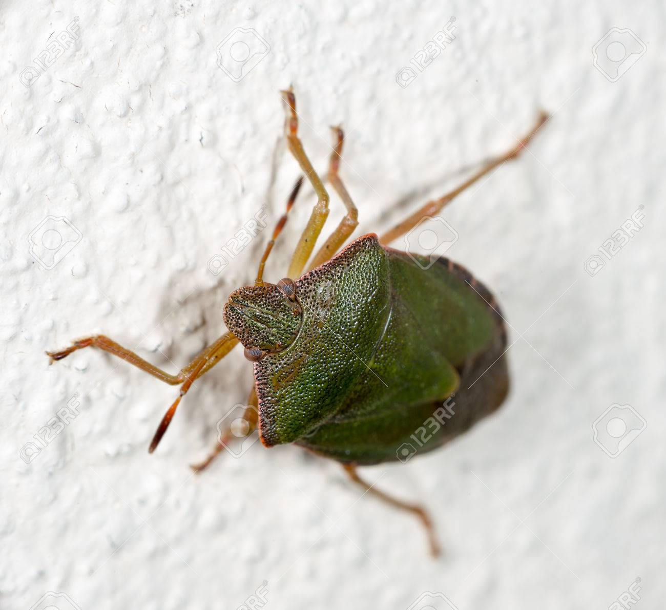 Green A Bedbug Crawling On The White Wall Of The House Stock Photo