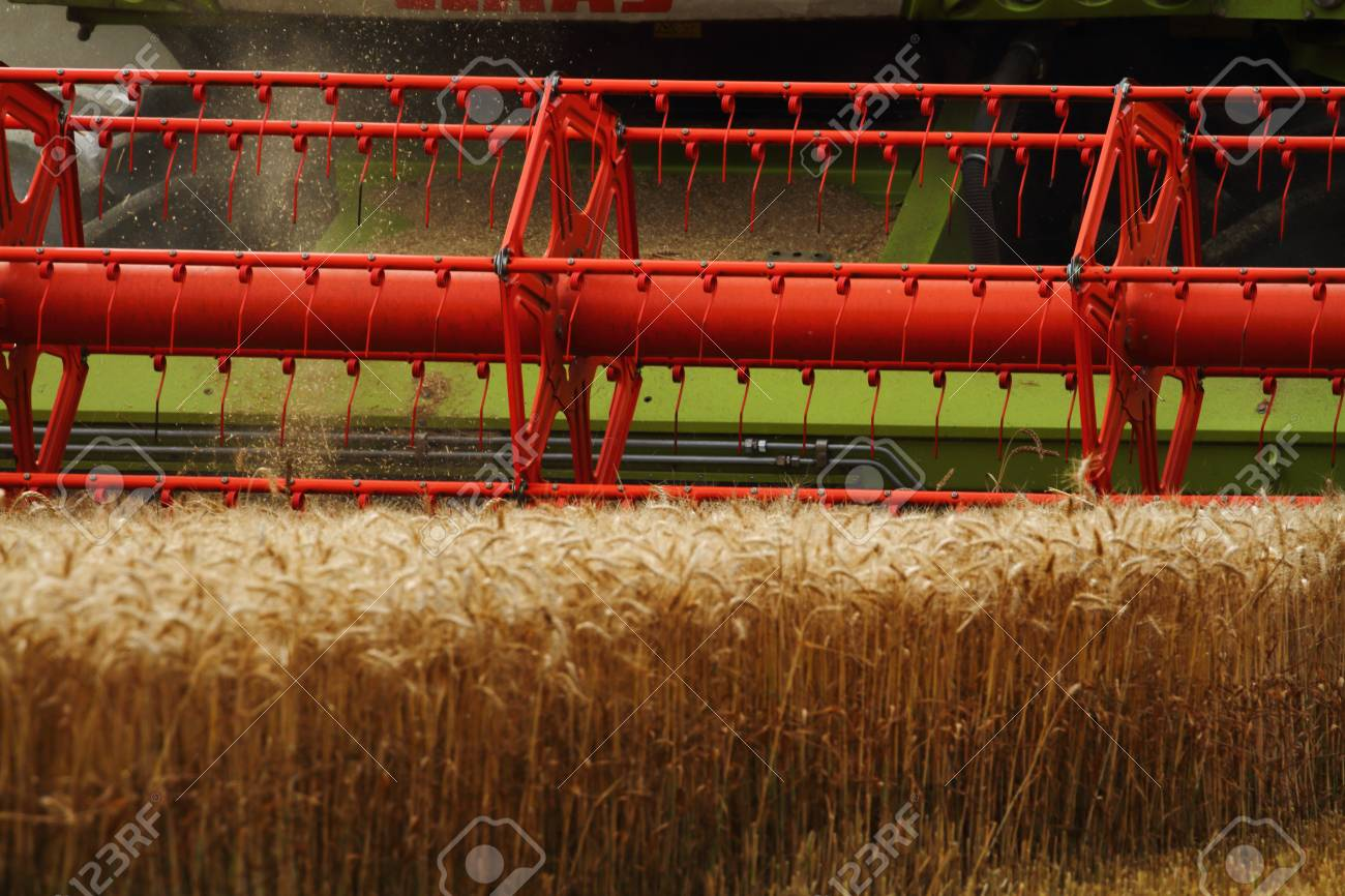 combine head cutting corn