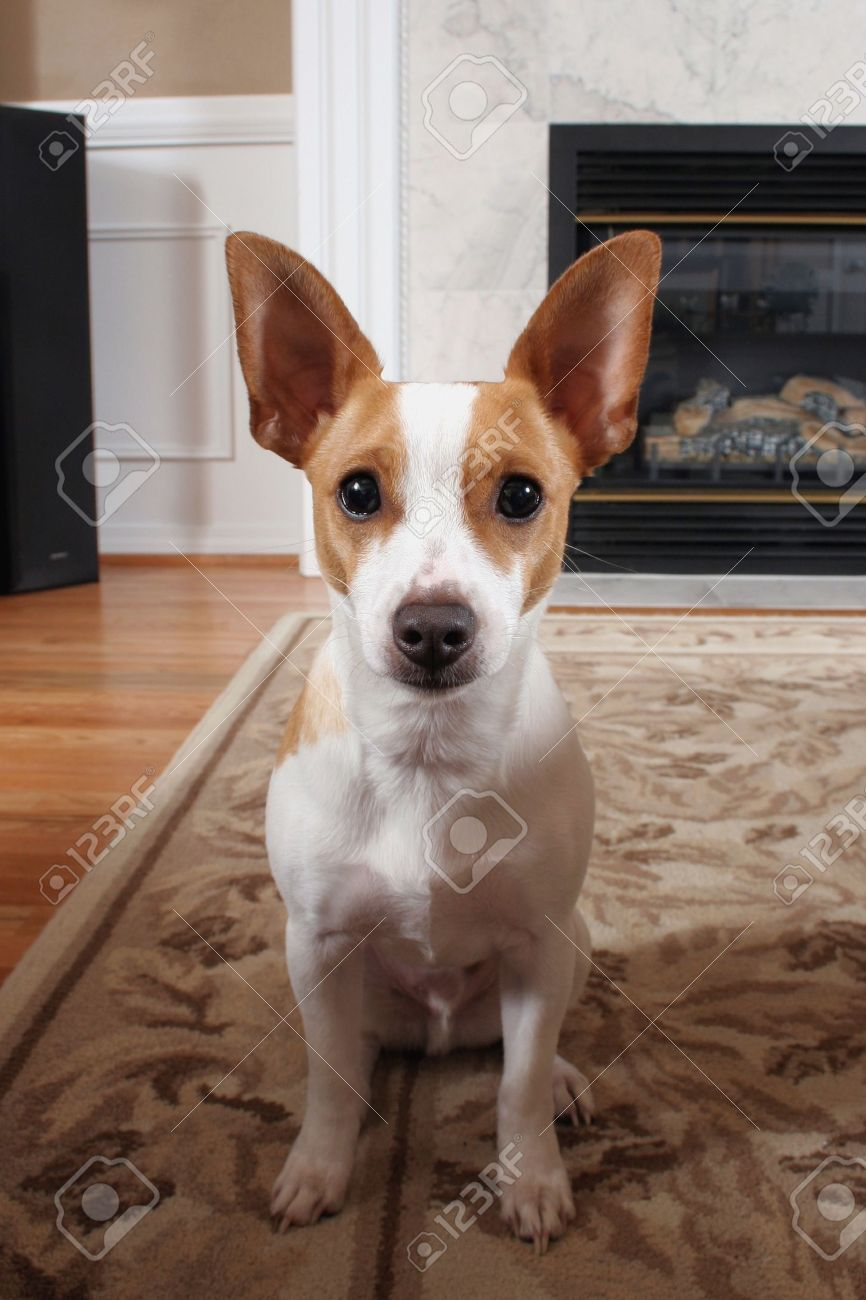 White and tan terrier posing for the camera in family room Stock Photo - 9972198