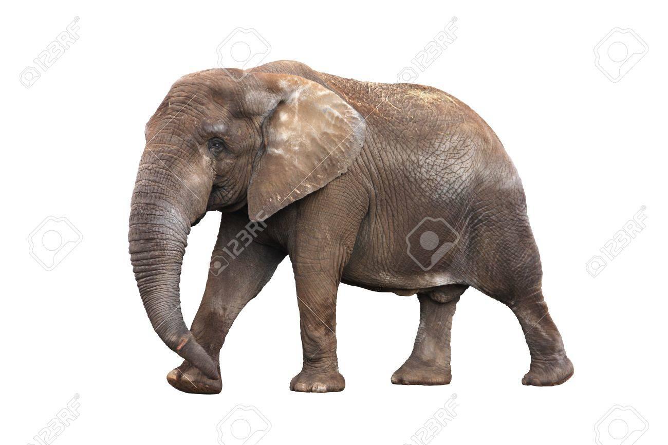 Adult walking elephant isolated on white background Stock Photo - 12464391