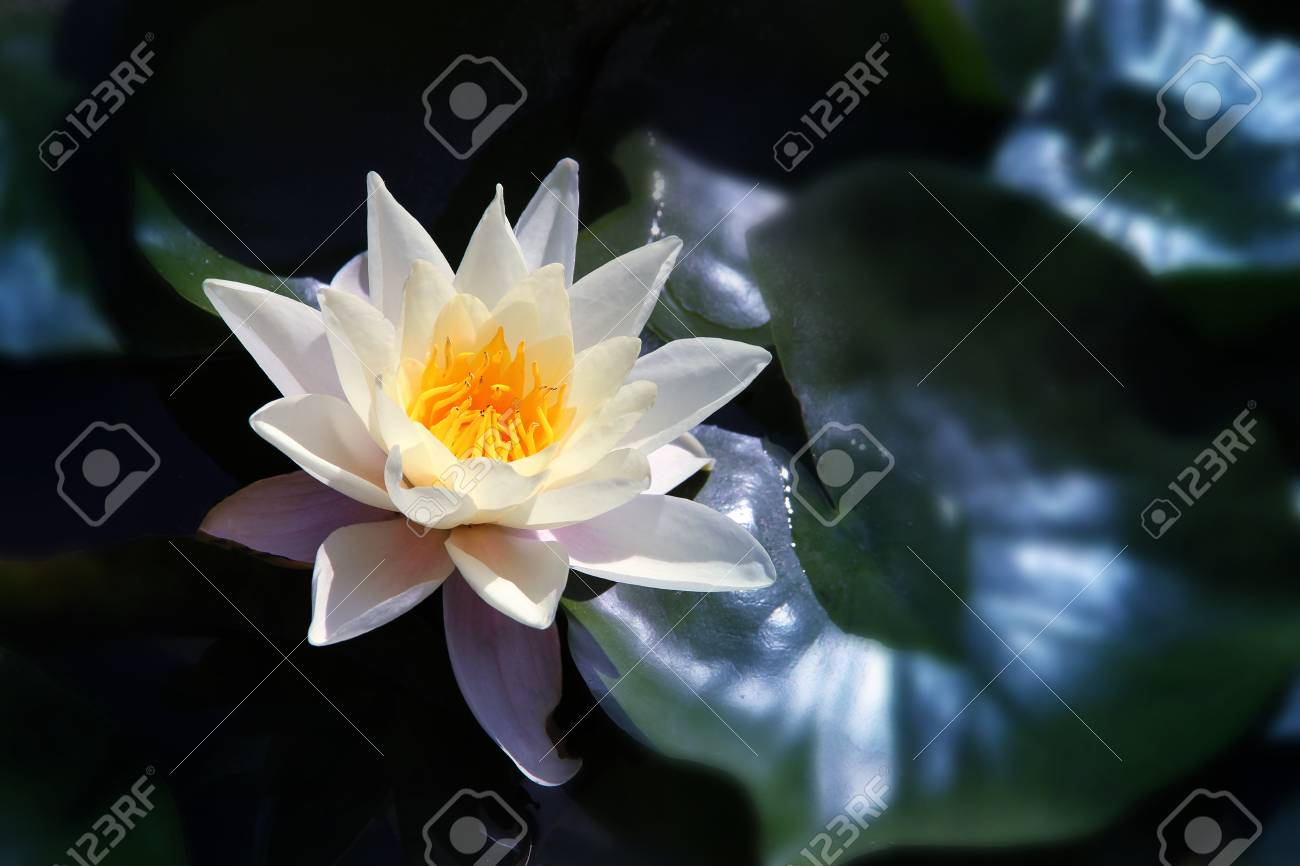 White Lotus On The River In Moonlight Stock Photo Picture And