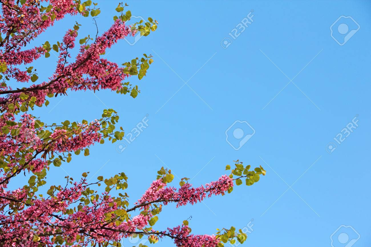 Blooming Tree With Beautiful Pink Flowers On Blue Sky Background