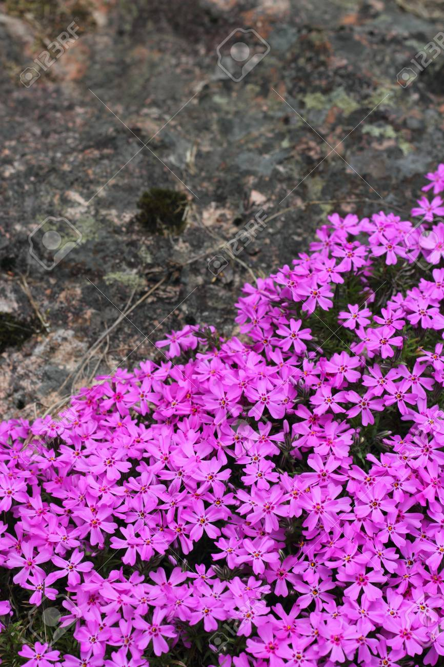 Wild Pink Alpine Flowers Growing On Rock Stock Photo Picture And